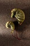 Κοχύλια ή φύλλα σφενδάμου; στοκ εικόνες με δικαίωμα ελεύθερης χρήσης