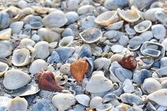 Κοχύλια θάλασσας στην παραλία Στοκ Εικόνα