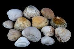κοχύλια Μαύρης Θάλασσας ανασκόπησης Στοκ φωτογραφία με δικαίωμα ελεύθερης χρήσης