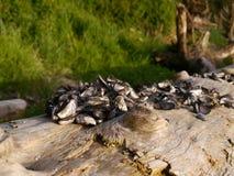Κοχύλια μυδιών στο driftwood Στοκ εικόνα με δικαίωμα ελεύθερης χρήσης