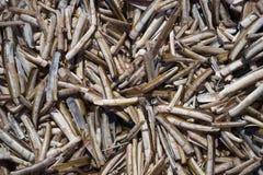 Κοχύλια ξυραφιών Στοκ Φωτογραφία