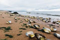 κοχύλια παραλιών Στοκ εικόνες με δικαίωμα ελεύθερης χρήσης