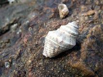 Κοχύλια στους βράχους Στοκ Εικόνα
