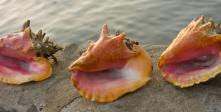 Κοχύλια Conch στις Καραϊβικές Θάλασσες Στοκ εικόνες με δικαίωμα ελεύθερης χρήσης