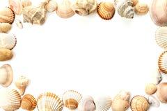 Κοχύλια Conch στοκ εικόνες με δικαίωμα ελεύθερης χρήσης