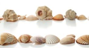 Κοχύλια Conch Στοκ φωτογραφίες με δικαίωμα ελεύθερης χρήσης