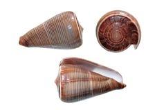 Κοχύλια Conus του figulinus που απομονώνονται στο λευκό Στοκ φωτογραφίες με δικαίωμα ελεύθερης χρήσης