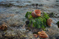 Κοχύλια Rapana at low tide η θάλασσα μετά από Chan Στοκ Εικόνες