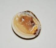 Κοχύλι ή μαλάκιο της Αφροδίτης, που απομονώνεται στο άσπρο υπόβαθρο Στοκ Εικόνα