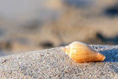 Κοχύλι θάλασσας παραλιών άμμου Στοκ φωτογραφία με δικαίωμα ελεύθερης χρήσης