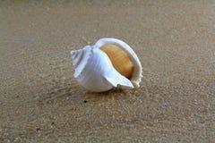 Κοχύλι θάλασσας στην άμμο Στοκ Φωτογραφίες