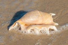 Κοχύλι θάλασσας στην αμμώδη παραλία θάλασσας Στοκ Εικόνες