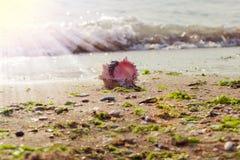 Κοχύλι θάλασσας στην αμμώδη παραλία στην ακτή Στοκ εικόνες με δικαίωμα ελεύθερης χρήσης