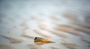 Κοχύλι ξυραφιών στην παραλία Στοκ Φωτογραφία