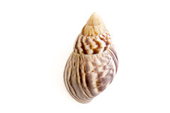 Κοχύλι σαλιγκαριών θάλασσας στοκ φωτογραφία με δικαίωμα ελεύθερης χρήσης