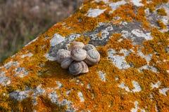 Κοχύλι σαλιγκαριών σε έναν βράχο που καλύπτεται με το πορτοκάλι λειχήνων βρύου Στοκ Εικόνες