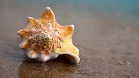 Κοχύλι Conch στην παραλία άμμου απόθεμα βίντεο