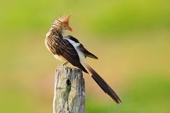 Κούκος Guira, guira Guira, στο βιότοπο φύσης, συνεδρίαση πουλιών στην πέρκα, γκρίζο πουλί, Mato Grosso, Pantanal, Βραζιλία κόλπος στοκ φωτογραφία με δικαίωμα ελεύθερης χρήσης