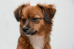 Κούρασε λίγο σκυλί κουταβιών που πέφτει λίγο πριν κοιμισμένο Στοκ εικόνες με δικαίωμα ελεύθερης χρήσης
