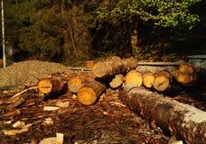 Κούτσουρα των κομψών δέντρων, έννοια της άγριας φύσης οικολογίας Καρπάθια βουνά, διάστημα αντιγράφων, κινηματογράφηση σε πρώτο πλ στοκ εικόνες