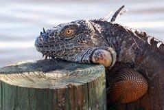 κούτσουρο iguana Στοκ φωτογραφίες με δικαίωμα ελεύθερης χρήσης