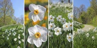 Κολάζ - άγρια λουλούδια ναρκίσσων στο πάρκο Στοκ Εικόνες