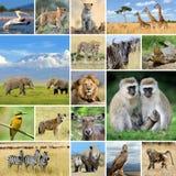 Κολάζ με τα αφρικανικά ζώα φωτογραφιών Στοκ Φωτογραφία