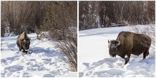 Κολάζ πάρκων Yellowstone χειμερινού χιονιού βισώνων Στοκ Εικόνες