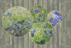 Κολάζ της δέσμης των άγριων δασικών μικροσκοπικών μπλε λουλουδιών Βερόνικα Germander, λουλούδια Speedwell Στοκ Εικόνες