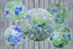 Κολάζ της δέσμης των άγριων δασικών μικροσκοπικών μπλε λουλουδιών Βερόνικα Germander, λουλούδια Speedwell Στοκ φωτογραφίες με δικαίωμα ελεύθερης χρήσης