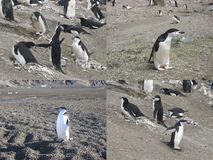 Κολάζ του chinstrap penguins στην Ανταρκτική Στοκ Εικόνες