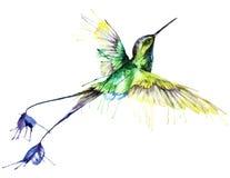 Κολίβριο, ζωγραφική watercolor Στοκ φωτογραφίες με δικαίωμα ελεύθερης χρήσης
