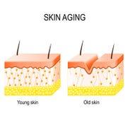 Κολλαγόνο στο νεώτερο και παλαιότερο δέρμα κολλαγόνο σε νεώτερο και olde διανυσματική απεικόνιση