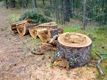 Κολοβώματα πεύκων στην άκρη του δάσους Στοκ Εικόνα