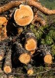 Κολοβώματα στο δάσος Στοκ Εικόνες