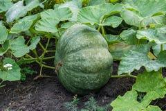 Κολοκύθα στον κήπο Ανάπτυξη κολοκύθας σε αναμονή για αποκριές στοκ φωτογραφία