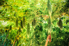 Κολοκύθα στον κήπο Στοκ φωτογραφία με δικαίωμα ελεύθερης χρήσης