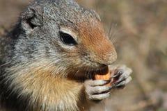 Κολομβιανός επίγειος σκίουρος που τρώει την κινηματογράφηση σε πρώτο πλάνο αμυγδάλων Στοκ φωτογραφία με δικαίωμα ελεύθερης χρήσης
