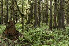 Κολπίσκος καταρρακτών Pacific Northwest τροπικών δασών Στοκ φωτογραφία με δικαίωμα ελεύθερης χρήσης
