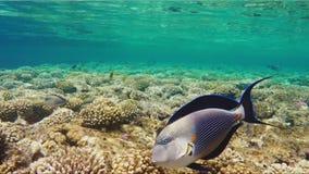 Κολυμπήστε δίπλα σε έναν καταπληκτικό χειρούργο ψαριών Αναψυχή και κατάδυση στην τροπική θάλασσα απόθεμα βίντεο