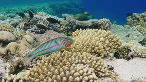 Κολυμπήστε πέρα από τα καταπληκτικά κοράλλια με τα εξωτικά ψάρια Ένα περίεργο ψάρι Klunzingers Wrasse επιπλέει στο υπόβαθρο θαυμά απόθεμα βίντεο