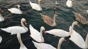 Κολυμπώντας κύκνοι Στοκ Εικόνα