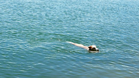 Κολυμπώντας ξύλινος κλάδος πιασιμάτων σκυλιών σε ocrean στοκ φωτογραφία με δικαίωμα ελεύθερης χρήσης