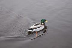 Κολυμπώντας πάπια στον ποταμό το χειμώνα Στοκ Εικόνες