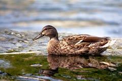 Κολυμπώντας πάπια Στοκ εικόνες με δικαίωμα ελεύθερης χρήσης