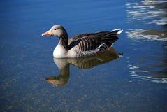 Κολυμπώντας πάπια Στοκ εικόνα με δικαίωμα ελεύθερης χρήσης