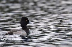 Κολυμπώντας πάπια Στοκ φωτογραφία με δικαίωμα ελεύθερης χρήσης