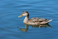 Κολυμπώντας πάπια Στοκ Φωτογραφίες