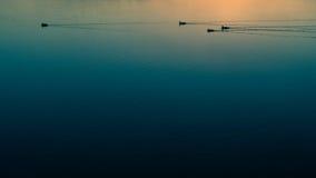Κολυμπώντας πάπιες Στοκ Εικόνες
