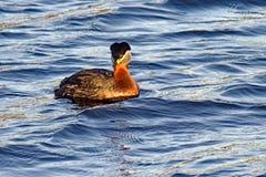 Κολυμπώντας πουλί Στοκ Φωτογραφίες